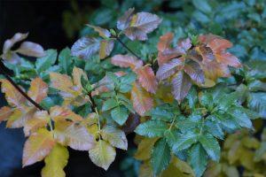 Guindo Santo, Eucriphya glutinosa